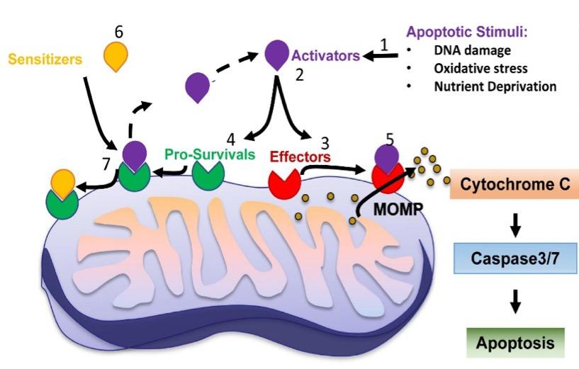 BH3 profiling and Apoptosis